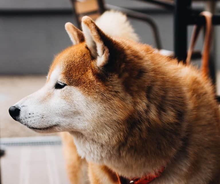 Shiba Inu (Dogecoin)